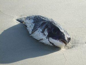 puffer-fish-85741_960_720