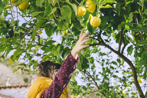Nina-cosecha-limones_23-2147830683